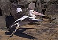 Clontarf Pelican Take Off-1+ (9222930928).jpg