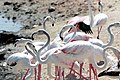 Close-up of flamingos.jpg