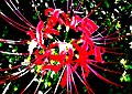 Cluster amaryllis close-up 2.jpg