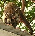 CoatiNosara cropped.jpg