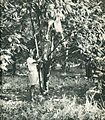 Cocoa farmer in Indonesia, Indonesia Tanah Airku, p49.jpg