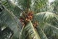 CoconutTrees1.JPG