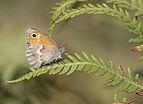 Coenonympha pamphilus - Small heath 05.jpg