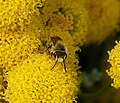 Colletes species (36013136762).jpg