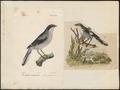 Collyrio meridionalis - 1700-1880 - Print - Iconographia Zoologica - Special Collections University of Amsterdam - UBA01 IZ16600387.tif