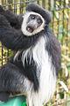 Colobus Monkey Surprised (18028034339).jpg