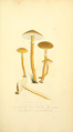 Coloured Figures of English Fungi or Mushrooms - t. 19.png