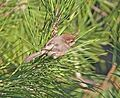 Common Bushtit, Canet Road, San Luis Obispo County, California 2.jpg