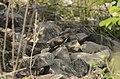 Common Cuckoo from Mordham Dam Nagpur JEG3634.jpg