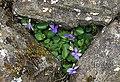 Common Dog Violet (Viola riviniana) - geograph.org.uk - 473679.jpg