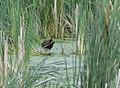 Common Gallinule (love birds nuzzling) (34226075973).jpg