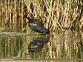 Common Moorhen (Gallinula chloropus) (27145637260).jpg