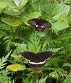 Common Mormon (Papilio polytes) courtship. Thane, Maharashtra..jpg
