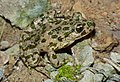 Common Parsley Frog (Pelodytes punctatus) (10113790946).jpg