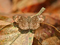 Common Small Flat (Sarangesa dasahara) at Samsing, Duars, West Bengal W IMG 6137.jpg