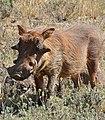 Common Warthog (Phacochoerus africanus) (32048021100).jpg