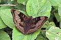 Common baron (Euthalia aconthea suddhodana) male Bardia.jpg