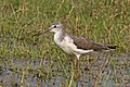 Common greenshank (Tringa nebularia).jpg