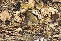 Compans Cafarelli - Erithacus rubecula - 2012-02-11.jpg