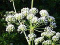 Conium maculatum Enfoque 2011-6-26 SierraMadrona.jpg