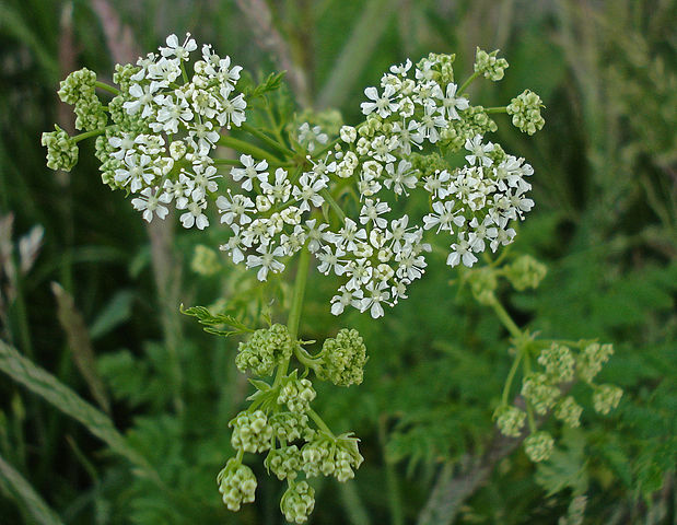 Hemlock flowers - one of the most poisonous plants
