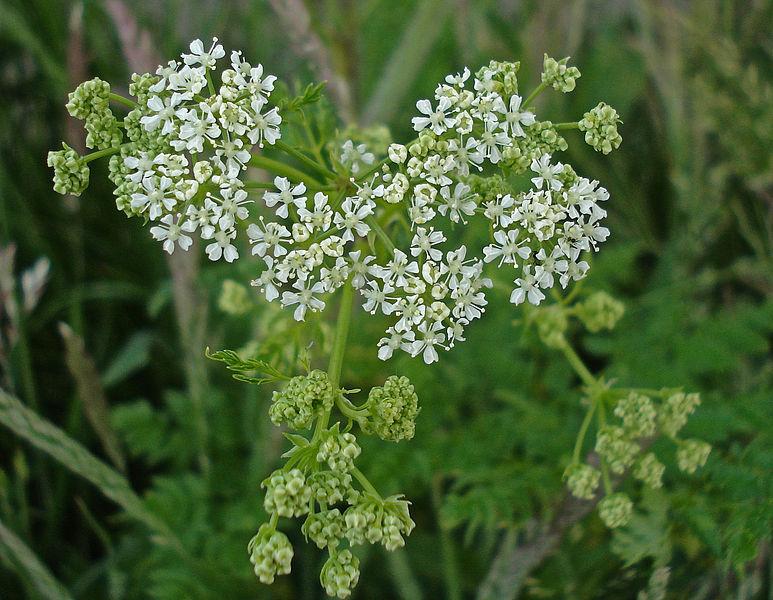 File:Conium maculatum Lincolnshire 1.jpg