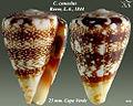 Conus cuneolus 2.jpg