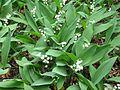 Convallaria majalis - Flickr - peganum.jpg