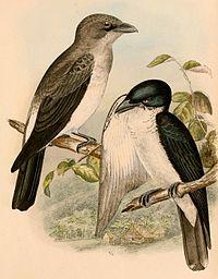 Coracina bicolor 1898.jpg