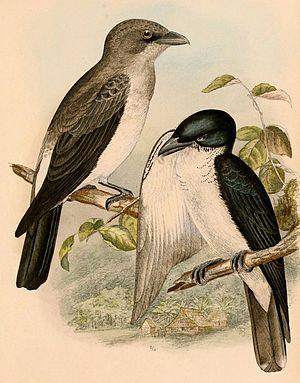 Pied cuckooshrike - Image: Coracina bicolor 1898