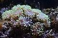 Coral Euphyllia ancora--.jpg
