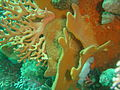 Corals and sponges at Coral Gardens Oudekraal DSC00363.JPG