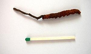 Cordyceps sinensis.jpg
