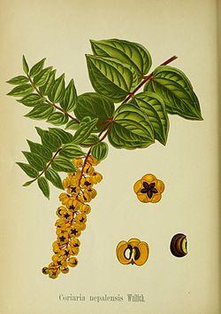 Coriaria nepalensis.jpg
