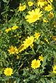 Corn Marigolds (Chrysanthemum segetum) - geograph.org.uk - 985657.jpg