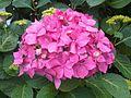 Cornales - Hydrangea macrophylla cultivars - London 1.jpg