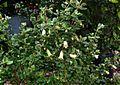 Correa reflexa nummulariifolia - Flickr - peganum (2).jpg