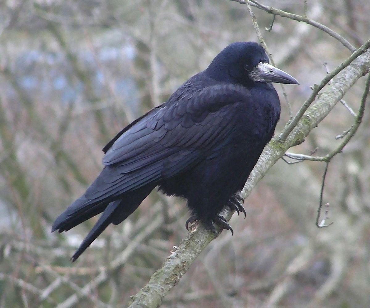 svarta fåglar i sverige
