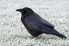 Corvus corone Alfred hoar frost JdP 20191231.jpg