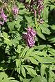 Corydalis multiflora (Fumariaceae) (36017621242).jpg