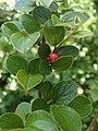Cotoneaster divaricatus kz06.jpg