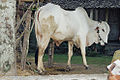 Cow in Sleman Java 2002.jpg