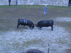 Hérens cattle - Fights between Herens cows are a tourist attraction in the canton of Wallis.