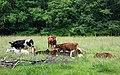 Cows in Gullmarsskogen 1.jpg