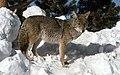 Coyote041 (26901961356).jpg