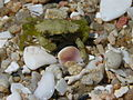 Crab Cangrexo 67eue.jpg