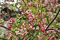 Crabapple in flower.jpg