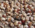 Crabes Tromelin détail.jpg