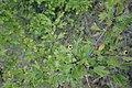 Crataegus pentagyna, Rosaceae 04.jpg