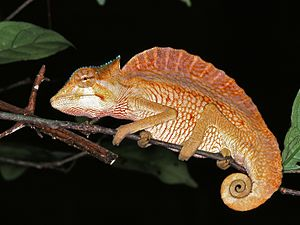 Neural spine sail - Crested chameleon, an extant reptile with a sail on its back
